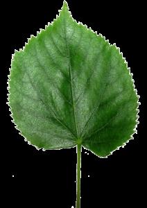 Lipa (Tilia) liśćie